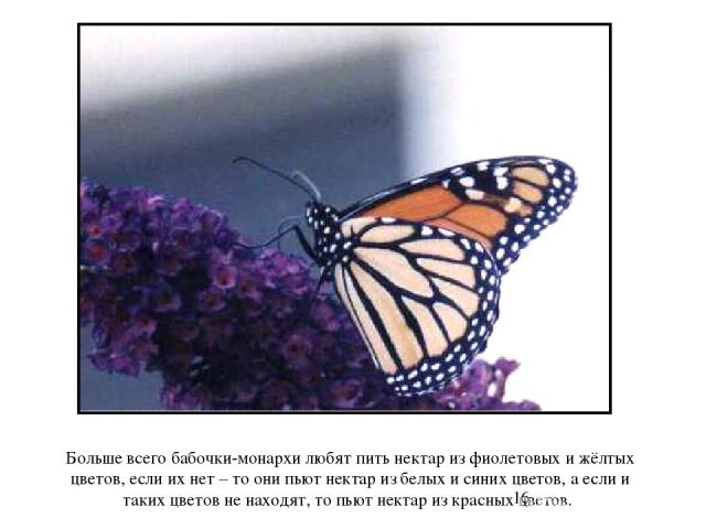 Больше всего бабочки-монархи любят пить нектар из фиолетовых и жёлтых цветов, если их нет – то они пьют нектар из белых и синих цветов, а если и таких цветов не находят, то пьют нектар из красных цветов. Больше всего бабочки-монархи любят пить некта…