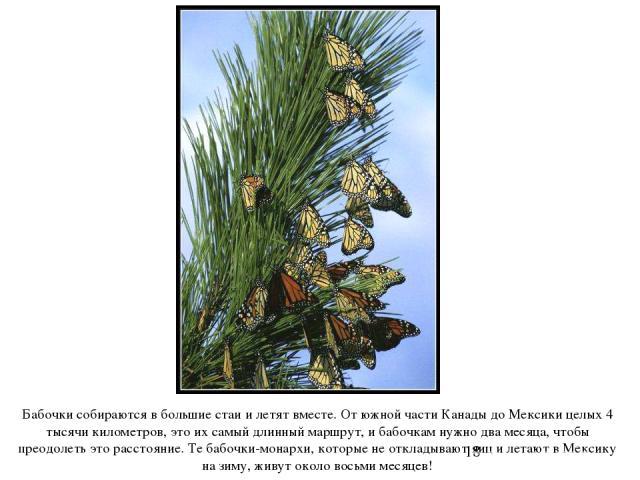 Бабочки собираются в большие стаи и летят вместе. От южной части Канады до Мексики целых 4 тысячи километров, это их самый длинный маршрут, и бабочкам нужно два месяца, чтобы преодолеть это расстояние. Те бабочки-монархи, которые не откладывают яиц …
