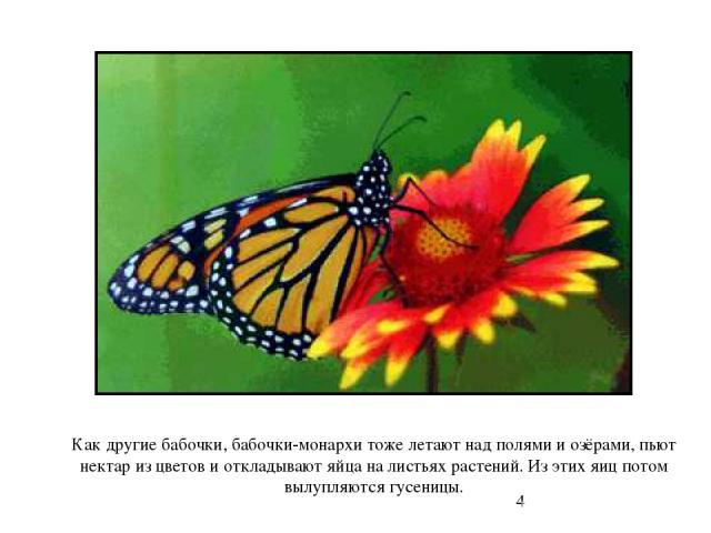 Как другие бабочки, бабочки-монархи тоже летают над полями и озёрами, пьют нектар из цветов и откладывают яйца на листьях растений. Из этих яиц потом вылупляются гусеницы. Как другие бабочки, бабочки-монархи тоже летают над полями и озёрами, пьют не…