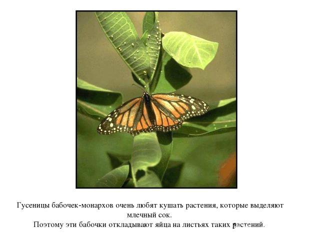 Гусеницы бабочек-монархов очень любят кушать растения, которые выделяют млечный сок. Поэтому эти бабочки откладывают яйца на листьях таких растений. Гусеницы бабочек-монархов очень любят кушать растения, которые выделяют млечный сок. Поэтому эти баб…