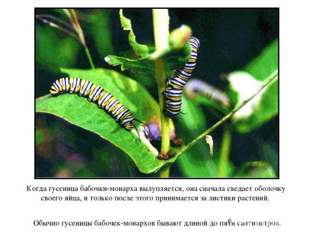 Когда гусеница бабочки-монарха вылупляется, она сначала съедает оболочку своего яйца, и только после этого принимается за листики растений. Обычно гусеницы бабочек-монархов бывают длиной до пяти сантиметров. Когда гусеница бабочки-монарха вылупляетс…