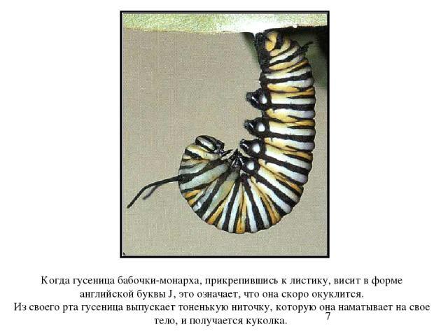 Когда гусеница бабочки-монарха, прикрепившись к листику, висит в форме английской буквы J, это означает, что она скоро окуклится. Из своего рта гусеница выпускает тоненькую ниточку, которую она наматывает на свое тело, и получается куколка. Когда гу…