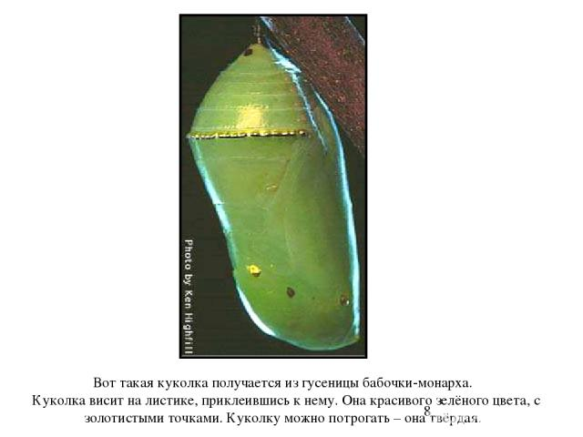 Вот такая куколка получается из гусеницы бабочки-монарха. Куколка висит на листике, приклеившись к нему. Она красивого зелёного цвета, с золотистыми точками. Куколку можно потрогать – она твёрдая. Вот такая куколка получается из гусеницы бабочки-мо…