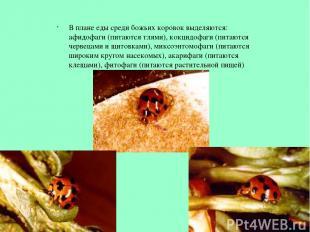 В плане еды среди божьих коровок выделяются: афидофаги (питаются тлями), кокцидо