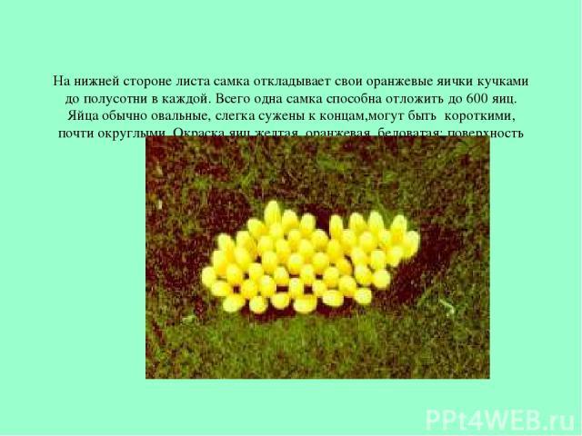 На нижней стороне листа самка откладывает свои оранжевые яички кучками до полусотни в каждой. Всего одна самка способна отложить до 600 яиц. Яйца обычно овальные, слегка сужены к концам,могут быть короткими, почти округлыми. Окраска яиц желтая, оран…