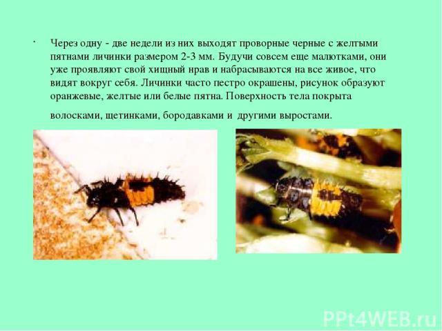 Через одну - две недели из них выходят проворные черные с желтыми пятнами личинки размером 2-3 мм. Будучи совсем еще малютками, они уже проявляют свой хищный нрав и набрасываются на все живое, что видят вокруг себя. Личинки часто пестро окрашены, ри…