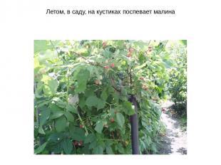 Летом, в саду, на кустиках поспевает малина