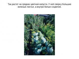 Так растет на грядках цветная капуста. У неё сверху большие зеленые листья, а вн