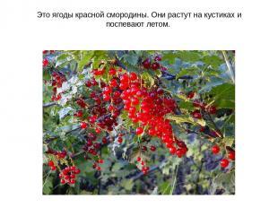 Это ягоды красной смородины. Они растут на кустиках и поспевают летом.