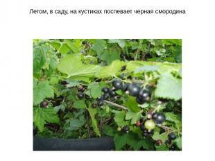 Летом, в саду, на кустиках поспевает черная смородина