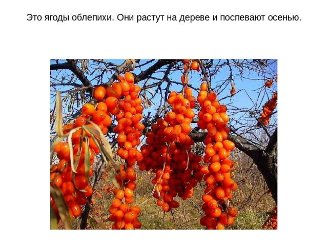Это ягоды облепихи. Они растут на дереве и поспевают осенью.