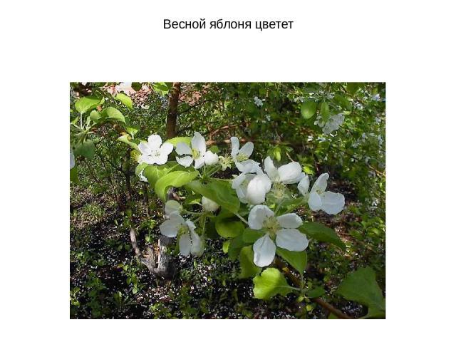 Весной яблоня цветет