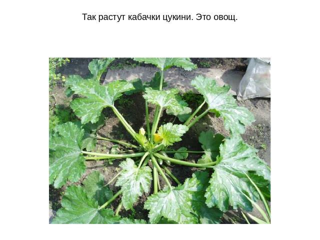 Так растут кабачки цукини. Это овощ.