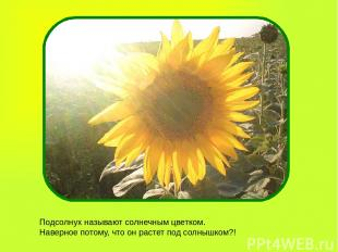 Подсолнух называют солнечным цветком. Наверное потому, что он растет под солнышк