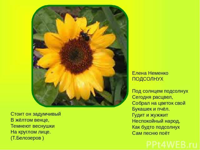 Стоит он задумчивый В жёлтом венце, Темнеют веснушки На круглом лице. (Т.Белозеров ) Елена Неменко ПОДСОЛНУХ Под солнцем подсолнух Сегодня расцвел, Собрал на цветок свой Букашек и пчёл. Гудит и жужжит Неспокойный народ, Как будто подсолнух Сам песню поёт