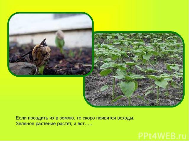 Если посадить их в землю, то скоро появятся всходы. Зеленое растение растет, и вот…..