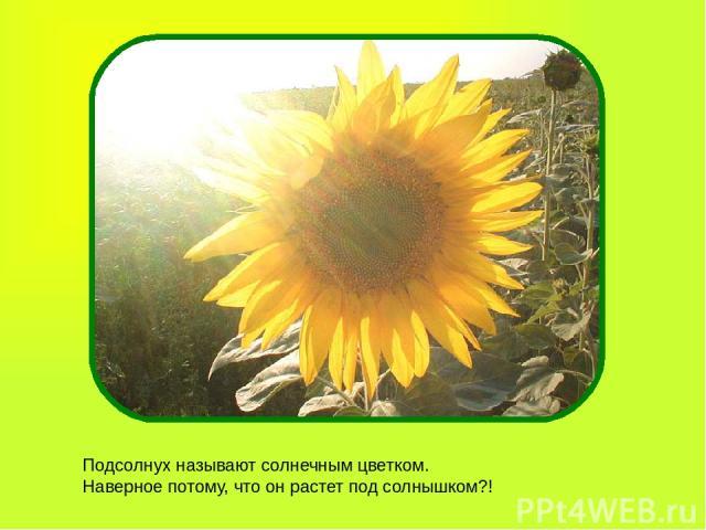 Подсолнух называют солнечным цветком. Наверное потому, что он растет под солнышком?!