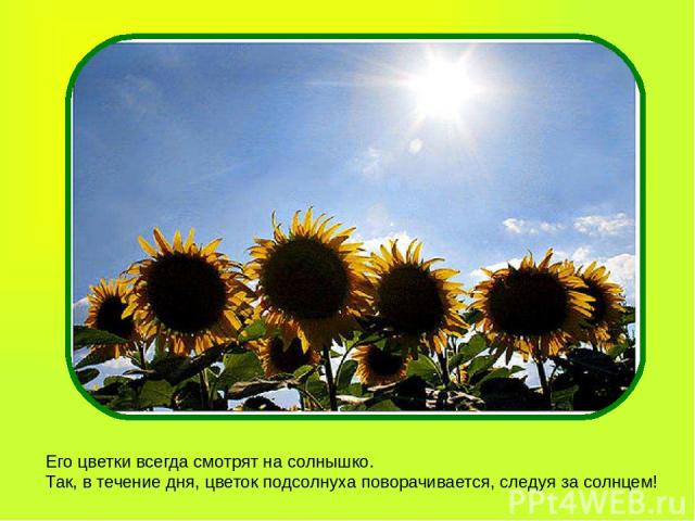 Его цветки всегда смотрят на солнышко. Так, в течение дня, цветок подсолнуха поворачивается, следуя за солнцем!