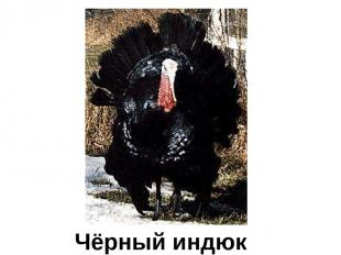 Чёрный индюк Чёрный индюк