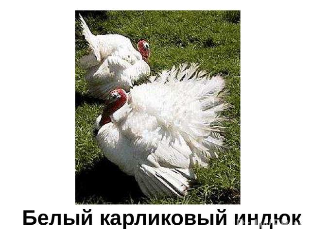 Белый карликовый индюк Белый карликовый индюк