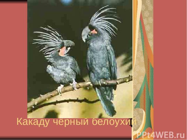 Какаду чёрный белоухий