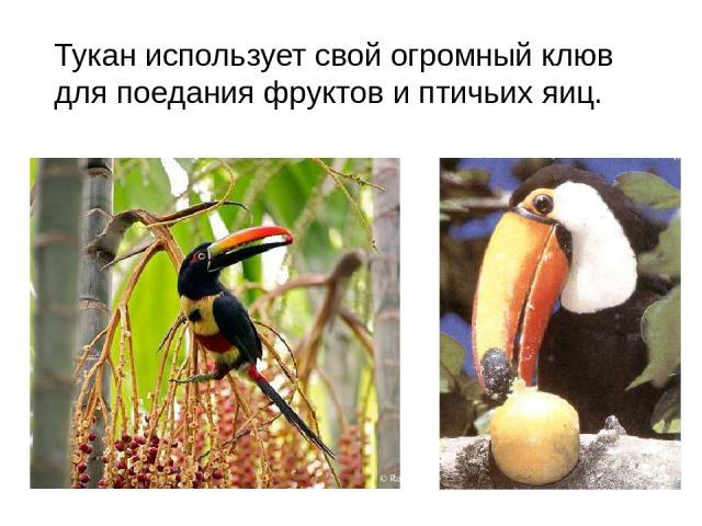 Тукан использует свой огромный клюв для поедания фруктов и птичьих яиц.
