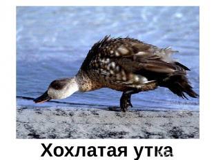 Хохлатая утка Хохлатая утка