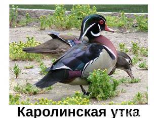 Каролинская утка Каролинская утка