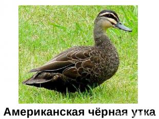 Американская чёрная утка Американская чёрная утка