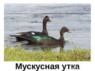 Мускусная утка Мускусная утка