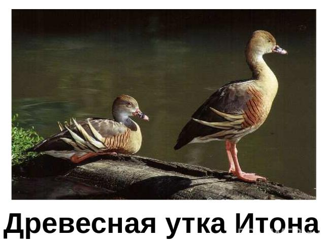 Древесная утка Итона Древесная утка итона