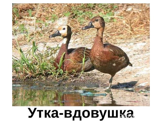 Утка-вдовушка Утка-вдовушка