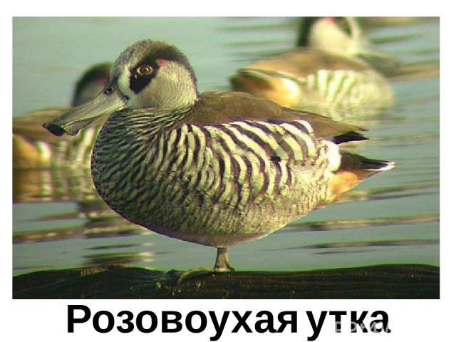 Розовоухая утка Розовоухая утка