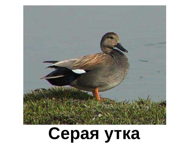 Серая утка Серая утка