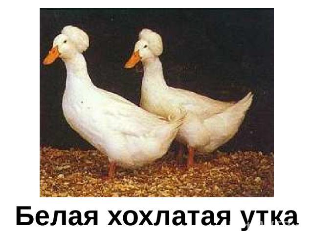 Белая хохлатая утка Белая хохлатая утка