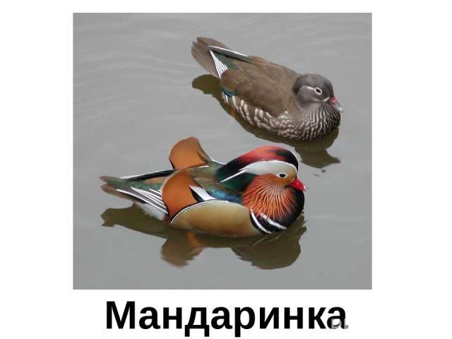 Мандаринка Мандаринка
