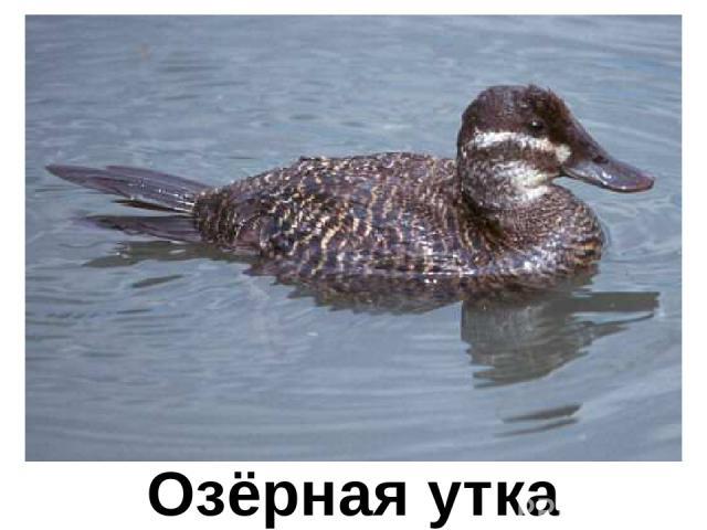 Озёрная утка Озёрная утка
