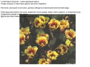 У некоторых кактусов – очень красивые цветы. Плоды опунции и некоторых других ка