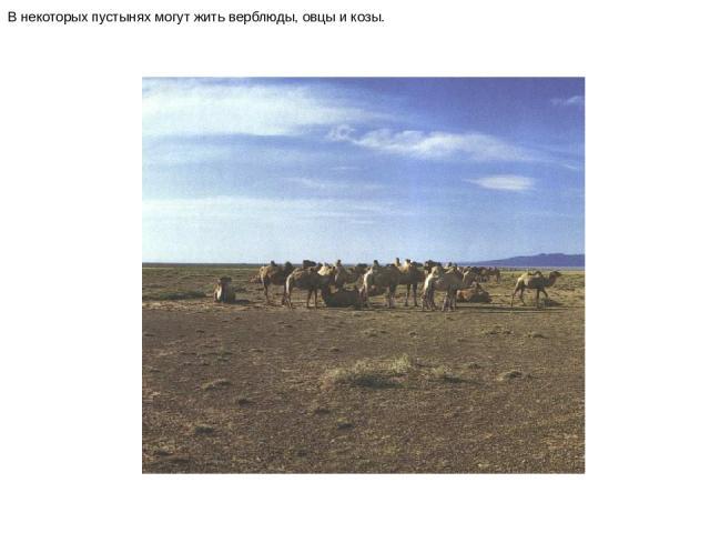 В некоторых пустынях могут жить верблюды, овцы и козы. В некоторых пустынях могут жить верблюды, овцы и козы.