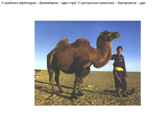 У арабских верблюдов – дромадеров – один горб. У центрально-азиатских – бактрианов – два. У арабских верблюдов – дромадеров – один горб. У центрально-азиатских – бактрианов – два.