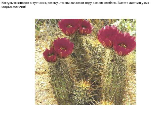 Кактусы выживают в пустынях, потому что они запасают воду в своих стеблях. Вместо листьев у них острые колючки! Кактусы выживают в пустынях, потому что они запасают воду в своих стеблях. Вместо листьев у них острые колючки!