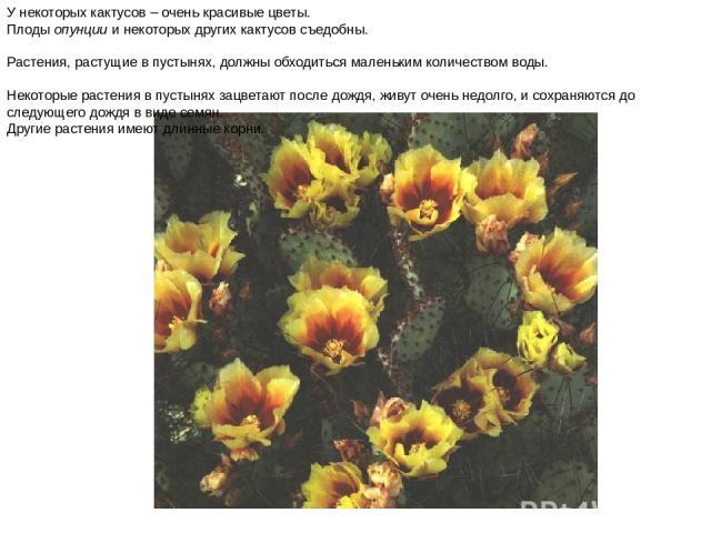 У некоторых кактусов – очень красивые цветы. Плоды опунции и некоторых других кактусов съедобны. Растения, растущие в пустынях, должны обходиться маленьким количеством воды. Некоторые растения в пустынях зацветают после дождя, живут очень недолго, и…