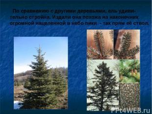 По сравнению с другими деревьями, ель удиви- тельно стройна. Издали она похожа н