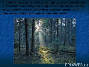 В еловом лесу царит ничем не нарушаемое спокойствие и таинственный полумрак. Под