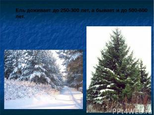 Ель доживает до 250-300 лет, а бывает и до 500-600 лет. Ель доживает до 250-300