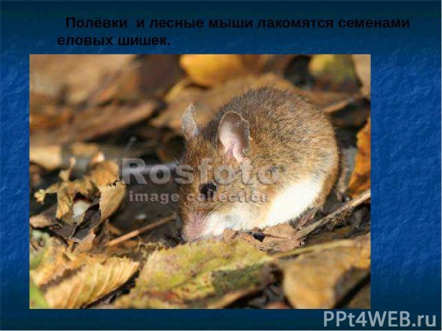 Полёвки и лесные мыши лакомятся семенами еловых шишек. Полёвки и лесные мыши лакомятся семенами еловых шишек.
