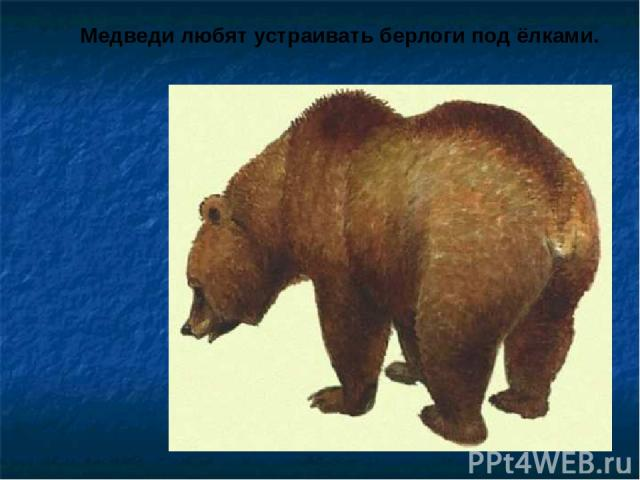 Медведи любят устраивать берлоги под ёлками. Медведи любят устраивать берлоги под ёлками.