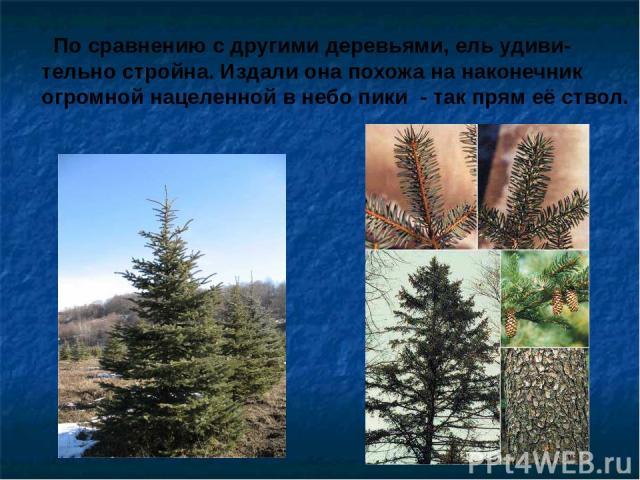 По сравнению с другими деревьями, ель удиви- тельно стройна. Издали она похожа на наконечник огромной нацеленной в небо пики - так прям её ствол. По сравнению с другими деревьями, ель удиви- тельно стройна. Издали она похожа на наконечник огромной н…