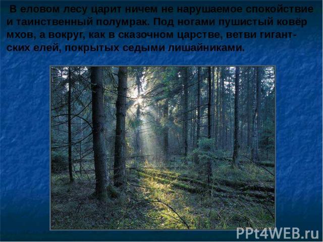 В еловом лесу царит ничем не нарушаемое спокойствие и таинственный полумрак. Под ногами пушистый ковёр мхов, а вокруг, как в сказочном царстве, ветви гигант- ских елей, покрытых седыми лишайниками. В еловом лесу царит ничем не нарушаемое спокойствие…