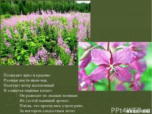 иван-чай Полыхают ярко и красиво Розовые кисти иван-чая, Налетает ветер шаловлив